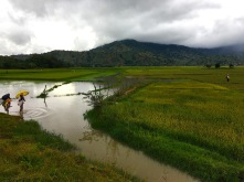 Reisfelder