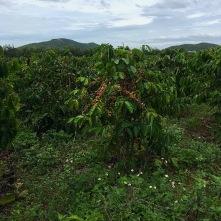 Kaffeeplantagen