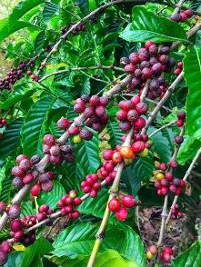 Kaffeekirschen