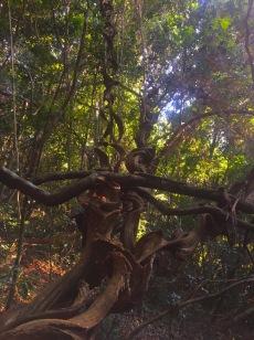 """""""Korkenzieher""""-Baum ;-)"""