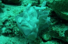 Giant Frogfish! Cathedral - Balicasag