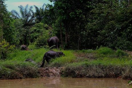 Die Elefanten überqueren den Fluss