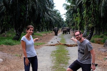 Elefanten inmitten einer Palmölplantage..