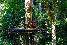 Orang-Utan auf der Fütterungsplattform