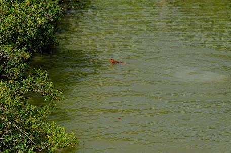 schwimmender Affe