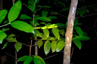 grüne Viper
