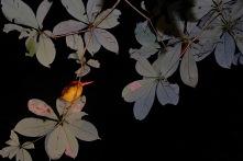 Kingfisher Vogel