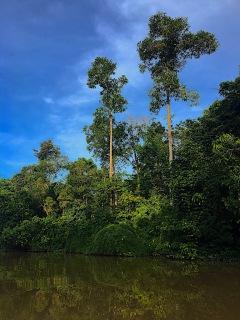 Dschungel rund um den Kinabatangan River