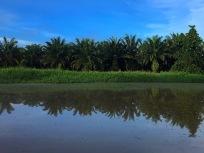 Palmölplantage die bis ans Ufer reicht...