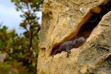 Echse versteckt sich in einem Pinnacle
