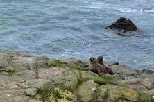 Seelöwen-Kolonie nähe Oamaru