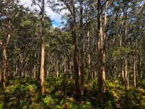 Karri-Wald