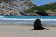 Seelöwen am Wharariki Beach