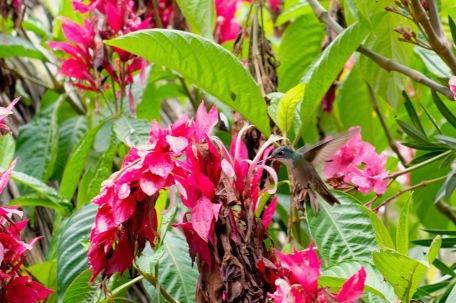 Kolibri, unsere täglichen Besucher