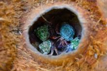 Einsiedlerkrebse in Kokosnuss
