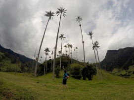 Wachspalmen im Valle de Cocora