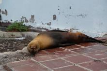schlafender Seehund