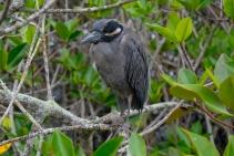 Galapagos-Knabbenreiher