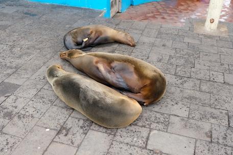 schlafende Seehunde mitten auf dem Geheweg...
