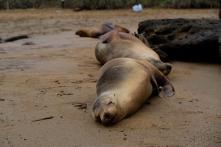 schlafende Seehunde