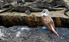 Blue-footed-Boobie und Meerechsen