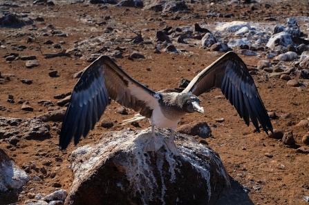 Junger Fregattvogel beim Muskeltraining