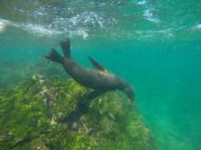Spielende Seelöwen im Wasser