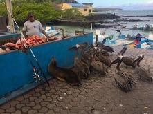 Battle um das beste Stück Fisch (man beachte die durchaus komfortable Position des Seehundes...)