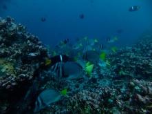 einige Rifffische